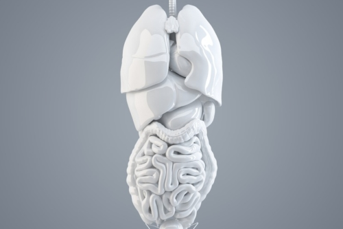 Human internal organs. 3D illustration. Isolated. Contains clipping path - slon.pics - free stock photos and illustrations
