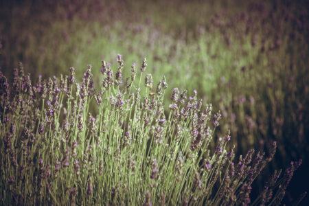 Lavender - slon.pics - free stock photos and illustrations