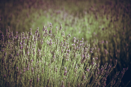 Lavender - slon.pics - free stock photos and illustrations
