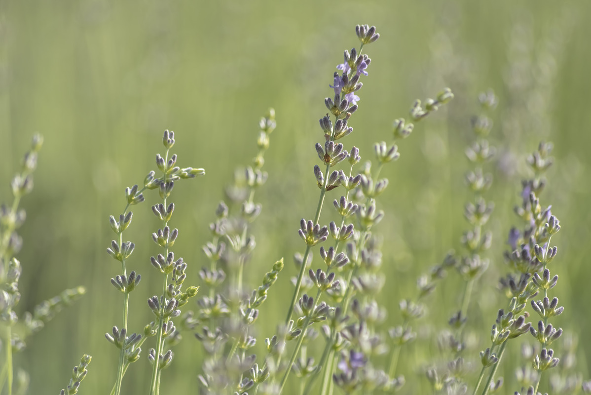 Lavender bush close-up - slon.pics - free stock photos and illustrations