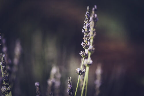 Lavender flowers branch - slon.pics - free stock photos and illustrations