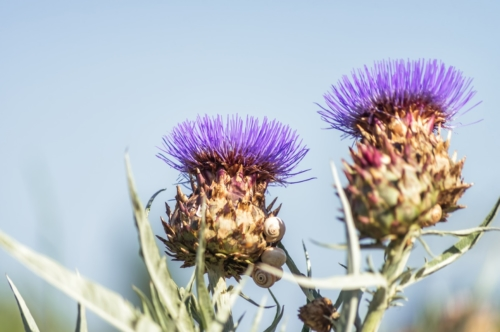 Thistle. Cardoon (Cynara cardunculus) or artichoke thistle - slon.pics - free stock photos and illustrations