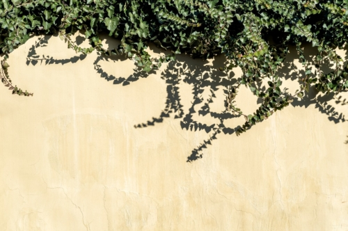 Wall with ivy lush - slon.pics - free stock photos and illustrations