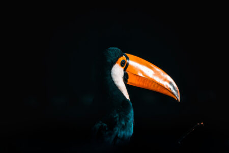 Colorful Toucan over dark background - slon.pics - free stock photos and illustrations