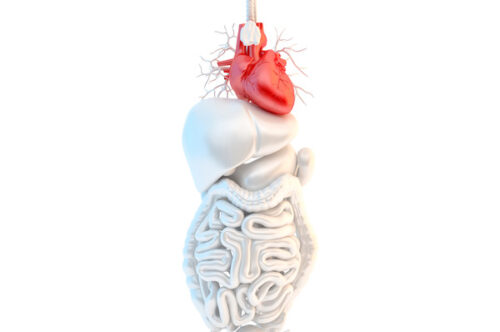 Heart – Male anatomy of human organs - slon.pics - free stock photos and illustrations