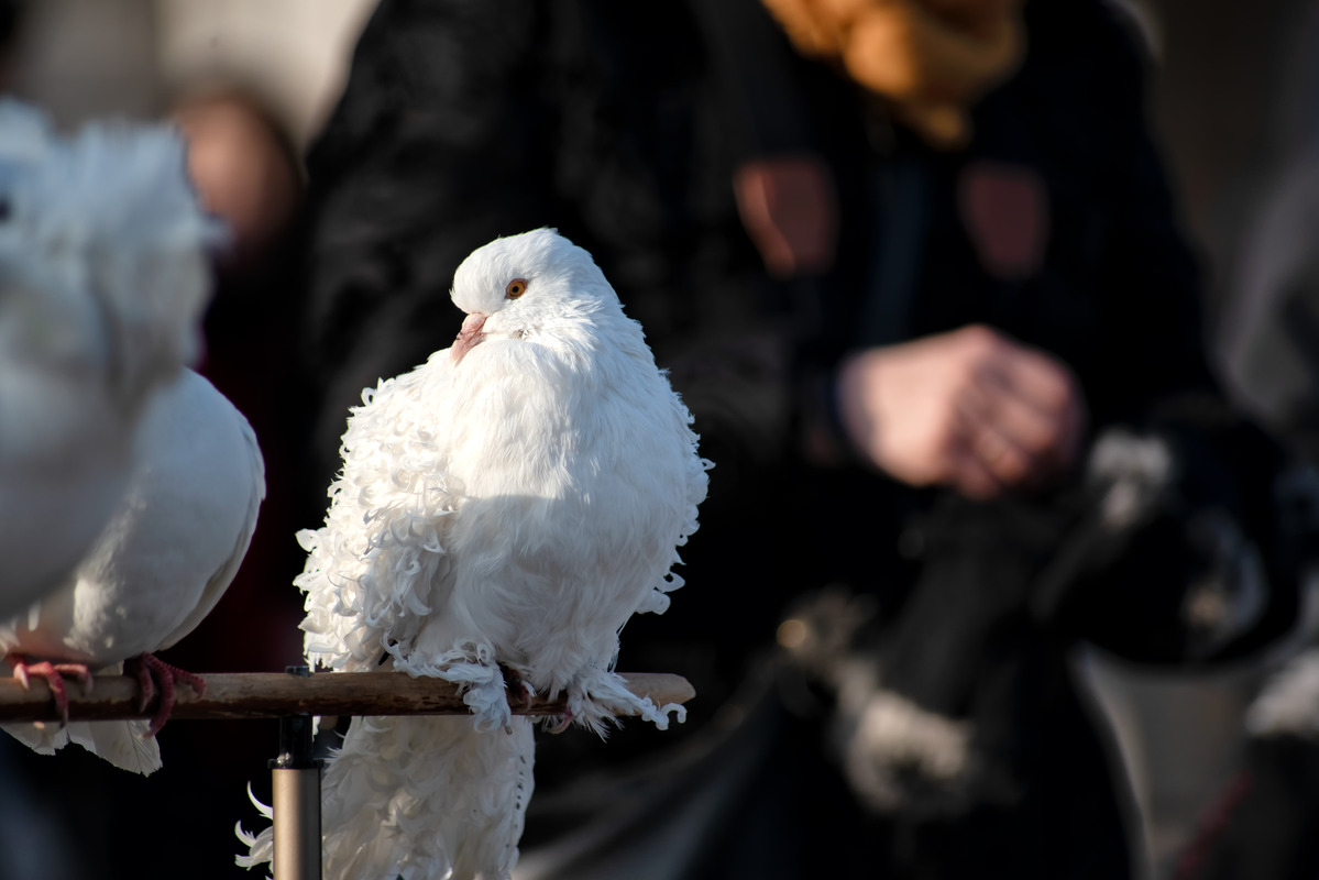 White pigeon close-up - slon.pics - free stock photos and illustrations